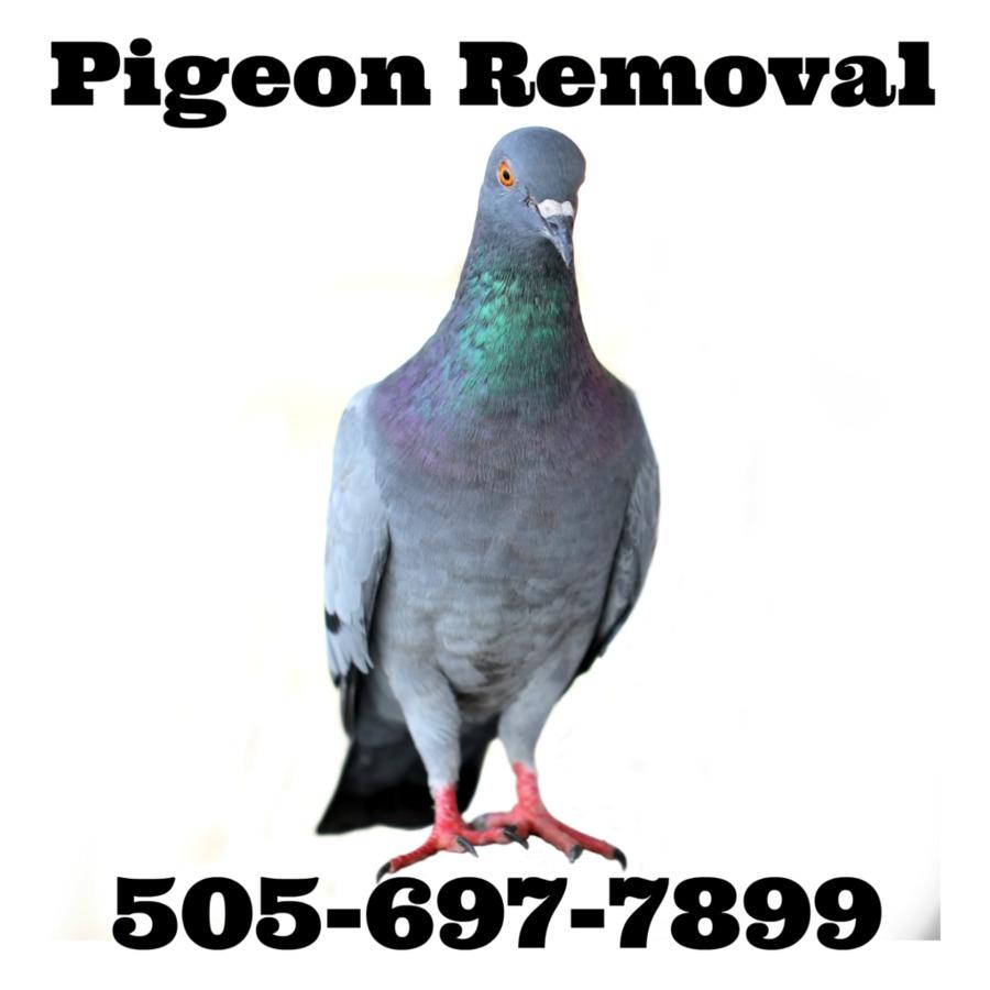 Descarga gratuita de Carreras De Homero, Homing Pigeon, Columbidae Imágen de Png