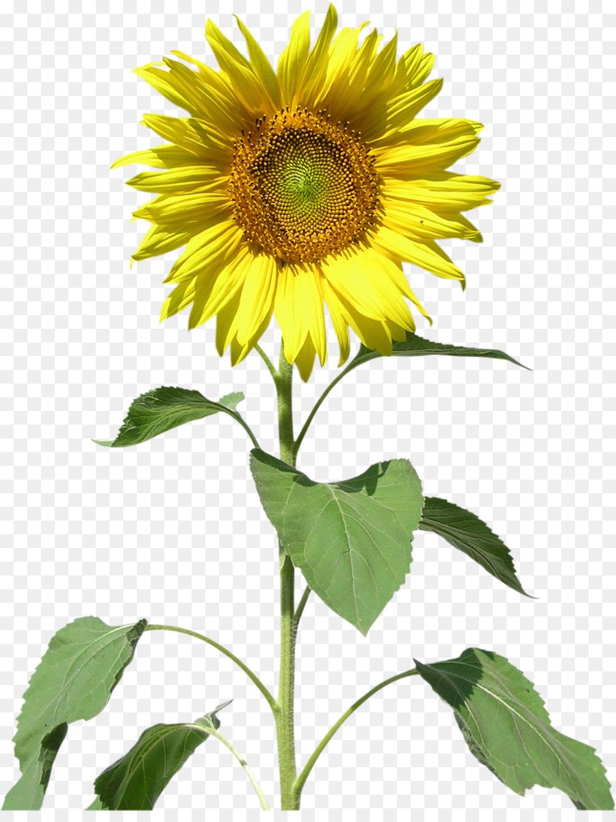 Descarga gratuita de Común De Girasol, Los Girasoles, Flor Imágen de Png