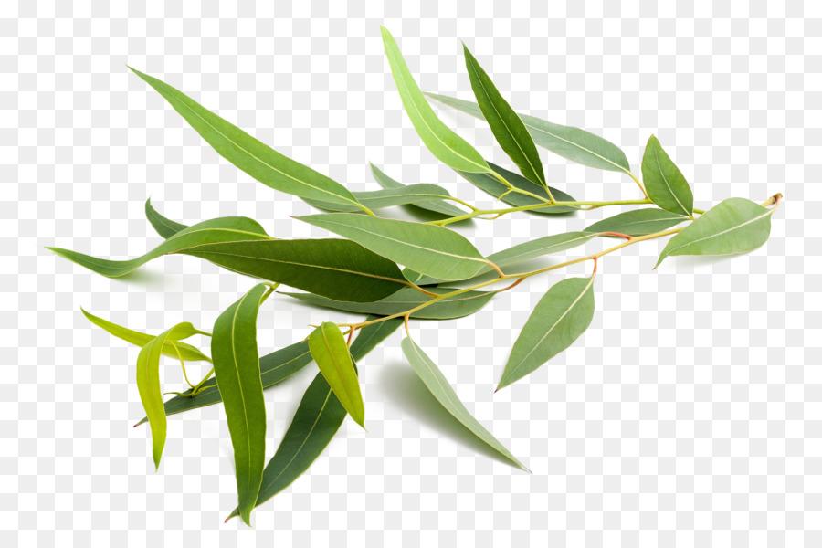 Descarga gratuita de Eucalyptus Globulus, Eucalipto Radiata, Eucalipto Polyanthemos Imágen de Png