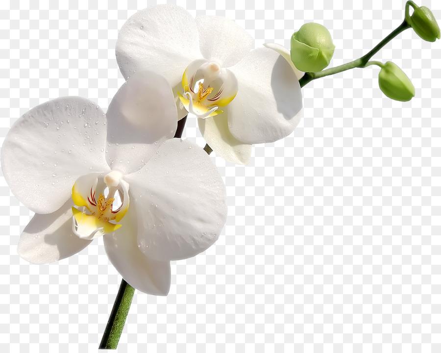 Descarga gratuita de Las Orquídeas, Flor, Postscript Encapsulado imágenes PNG