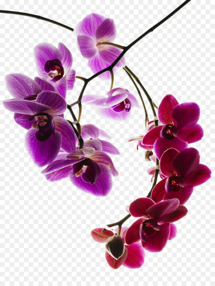 Descarga gratuita de Las Orquídeas, Phalaenopsis Afrodita, Orchis Simio imágenes PNG