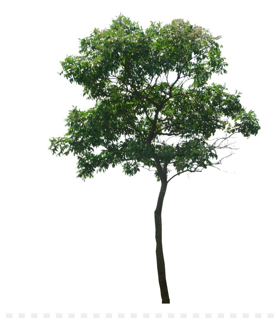 Descarga gratuita de árbol, Dillenia Philippinensis, Planta Leñosa Imágen de Png