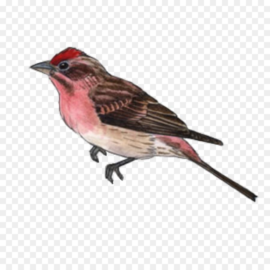 Descarga gratuita de Pájaro, Finch, Gorriones Americanos imágenes PNG