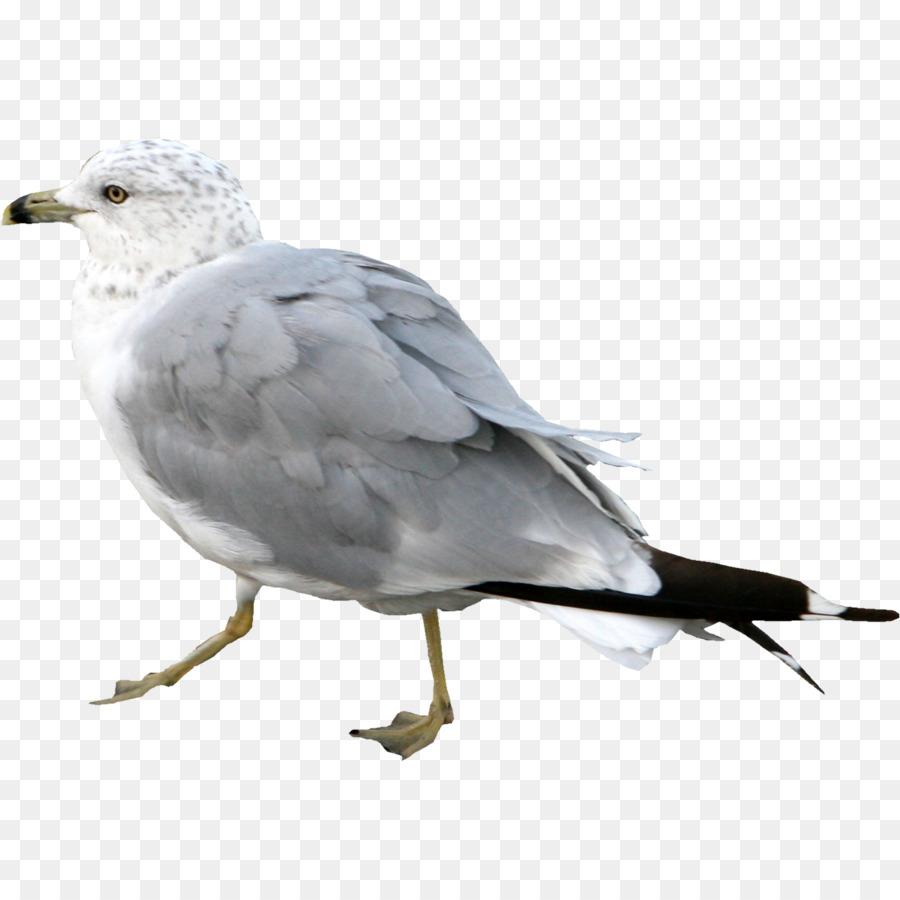 Descarga gratuita de Las Gaviotas, Europea De La Gaviota, Pájaro Imágen de Png