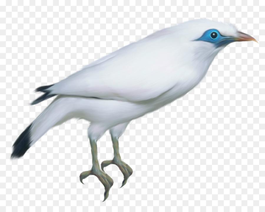 Descarga gratuita de Scandaroon Paloma, Pájaro, Paloma Nacional imágenes PNG