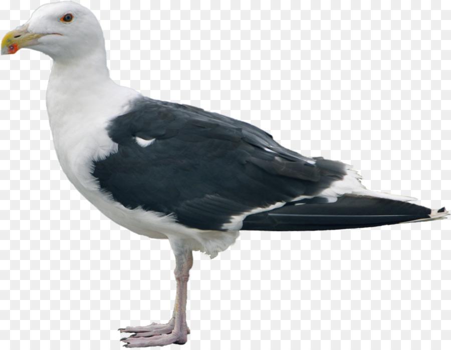 Descarga gratuita de Gran Blackbacked Gaviota, Las Gaviotas, Pájaro Imágen de Png