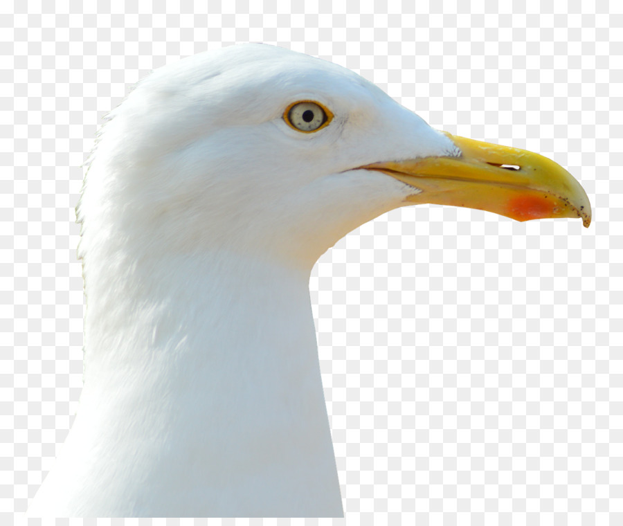 Descarga gratuita de Europea De La Gaviota, Gran Blackbacked Gaviota, Pájaro Imágen de Png