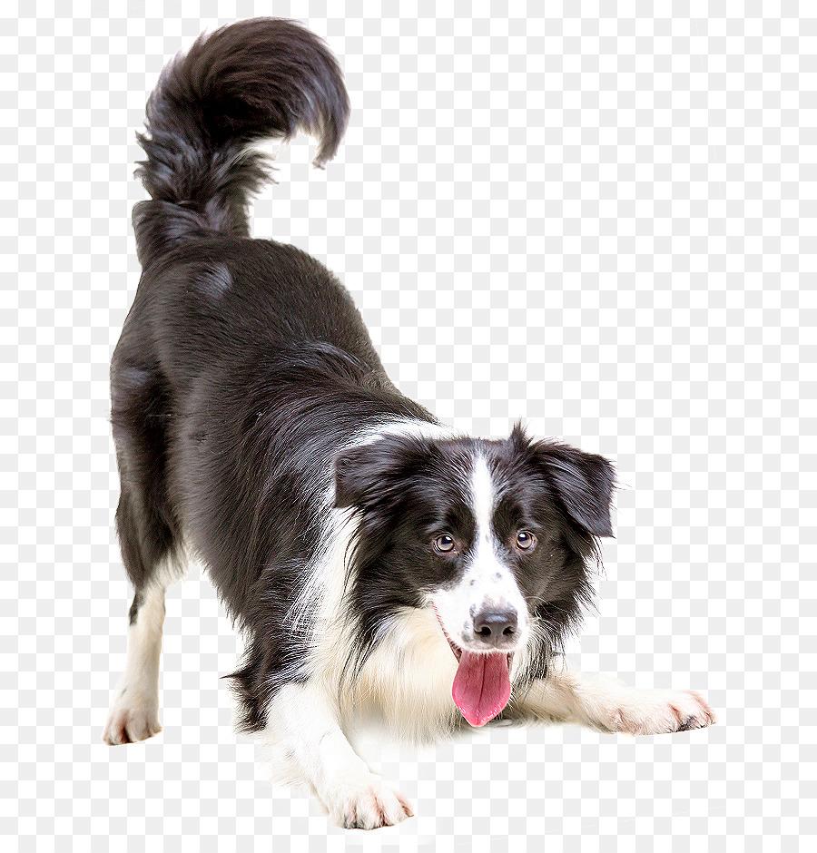 Descarga gratuita de Border Collie, Cachorro, Gato imágenes PNG