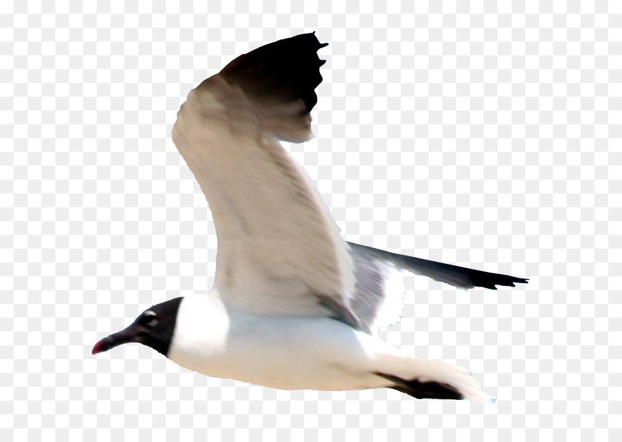 Descarga gratuita de Las Gaviotas, Pájaro, Vuelo Imágen de Png