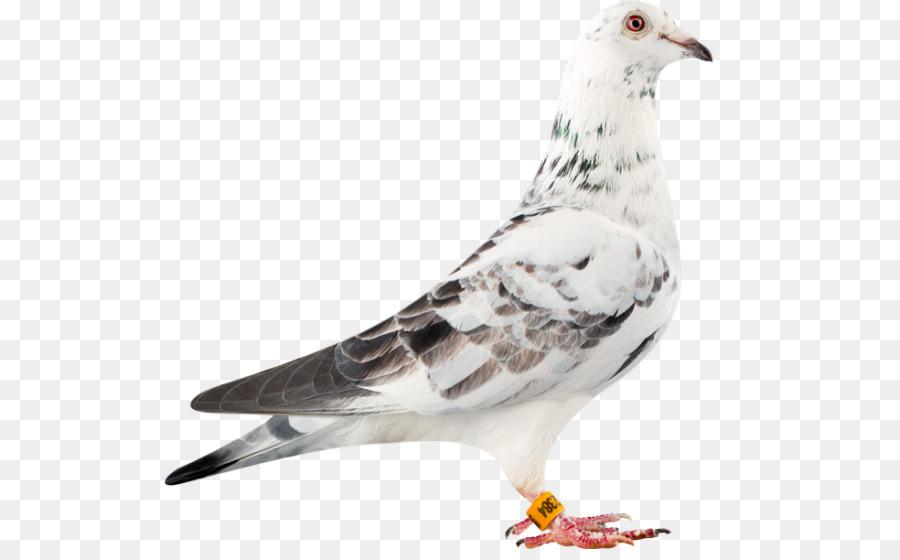 Descarga gratuita de Carreras De Homero, Columbidae, Pájaro Imágen de Png