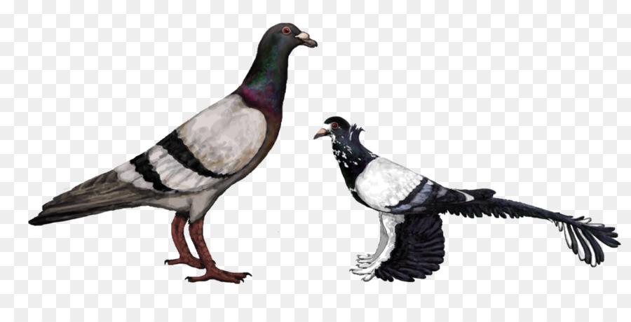 Descarga gratuita de Carreras De Homero, Homing Pigeon, Inglés Paloma Mensajera Imágen de Png