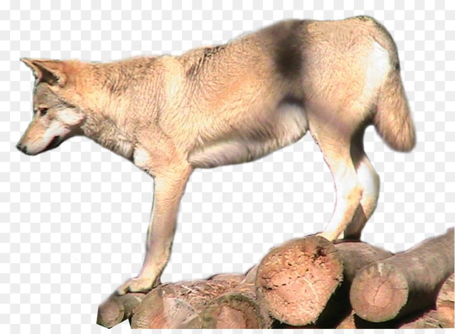 Descarga gratuita de El Lobo ártico, Coyote, Animal imágenes PNG