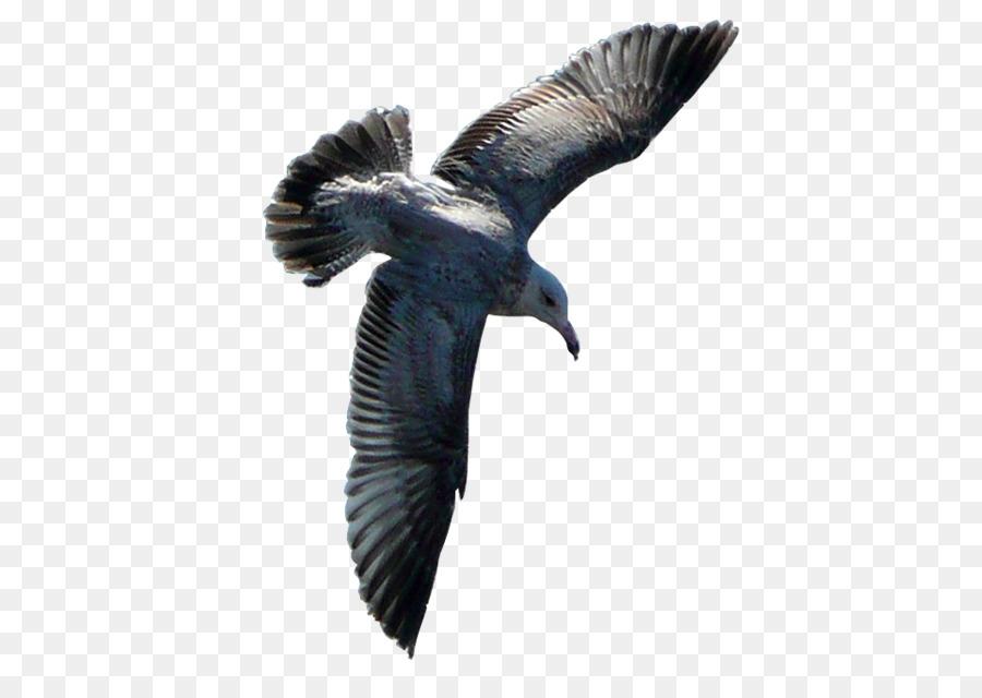 Descarga gratuita de Pájaro, Las Gaviotas, De Aves Marinas Imágen de Png