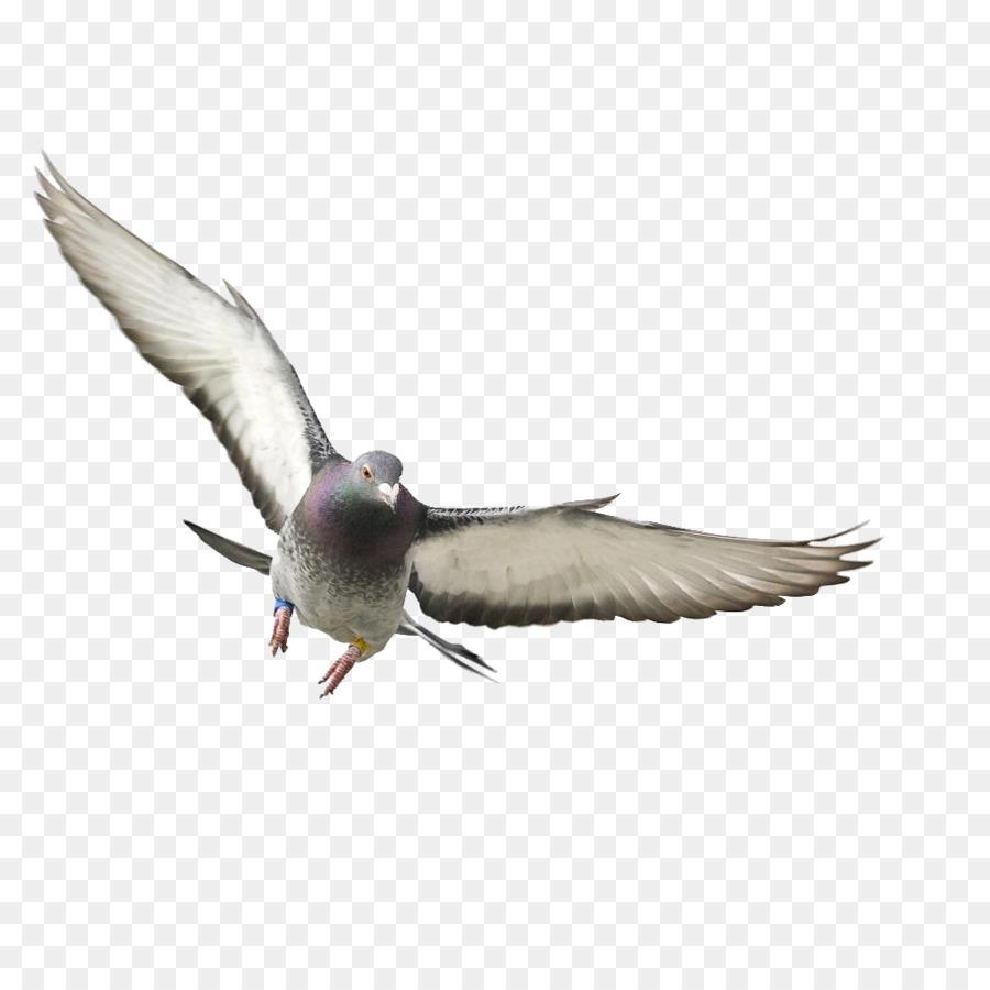 Descarga gratuita de Rock Dove, Pájaro, Columbidae Imágen de Png