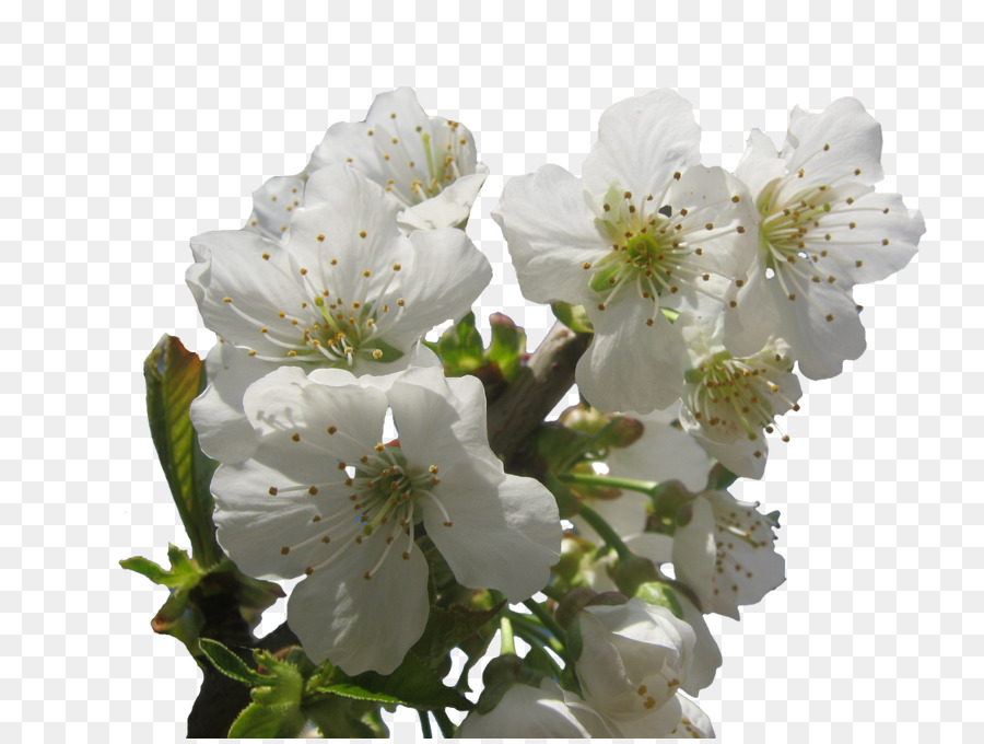 Descarga gratuita de De Los Cerezos En Flor, árbol, Flor Imágen de Png