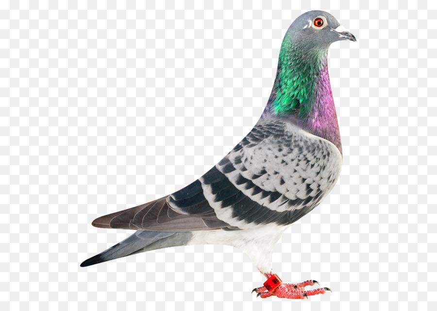 Descarga gratuita de Carreras De Homero, Homing Pigeon, La Paloma De Carreras Imágen de Png