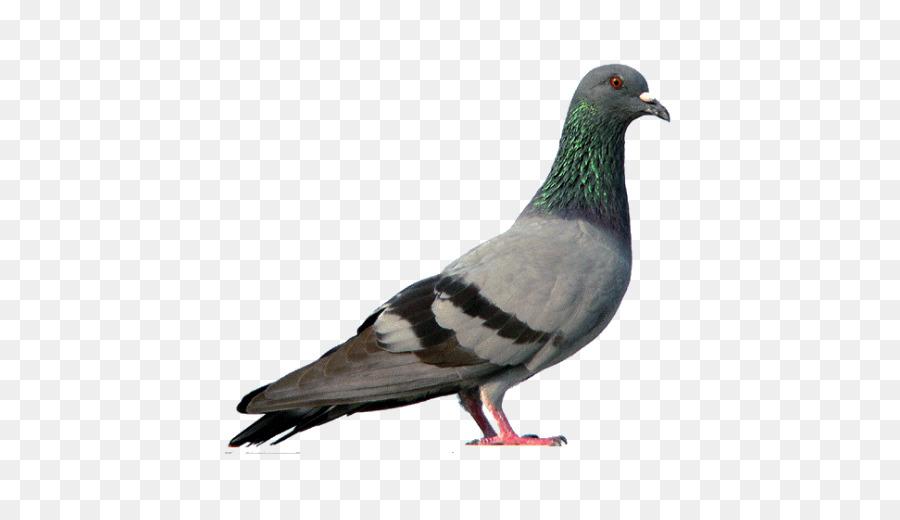 Descarga gratuita de Paloma Nacional, Pájaro, Columbidae Imágen de Png