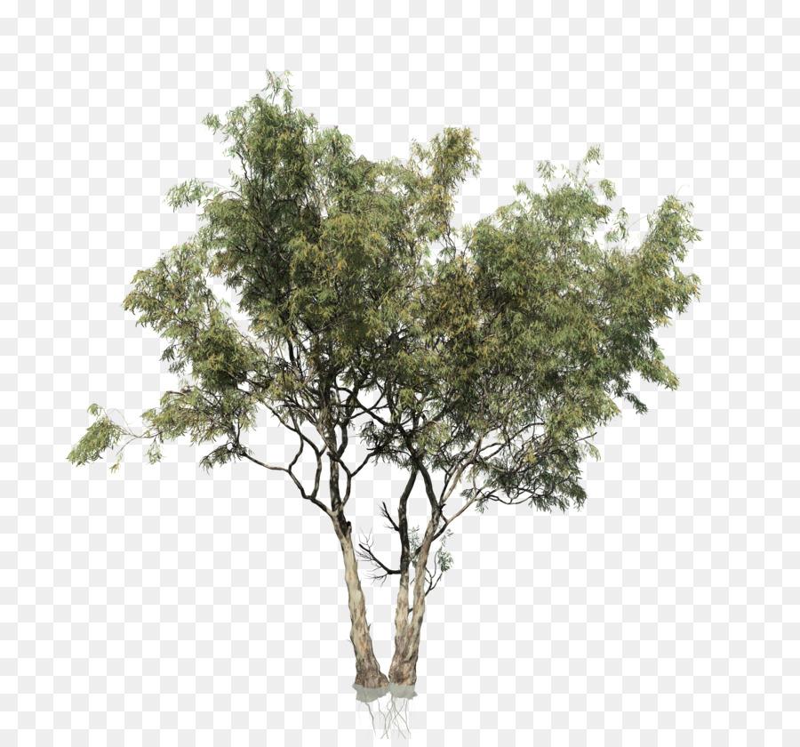Descarga gratuita de Eucalyptus Camaldulensis, El Eucalipto Arco Iris, Eucalipto Polyanthemos imágenes PNG