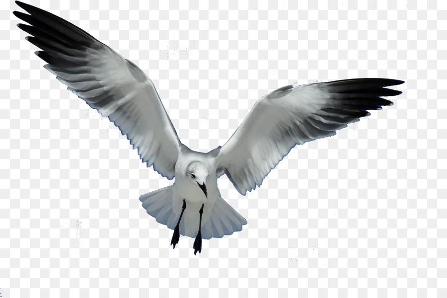 Descarga gratuita de Las Gaviotas, Pájaro, Europea De La Gaviota Imágen de Png