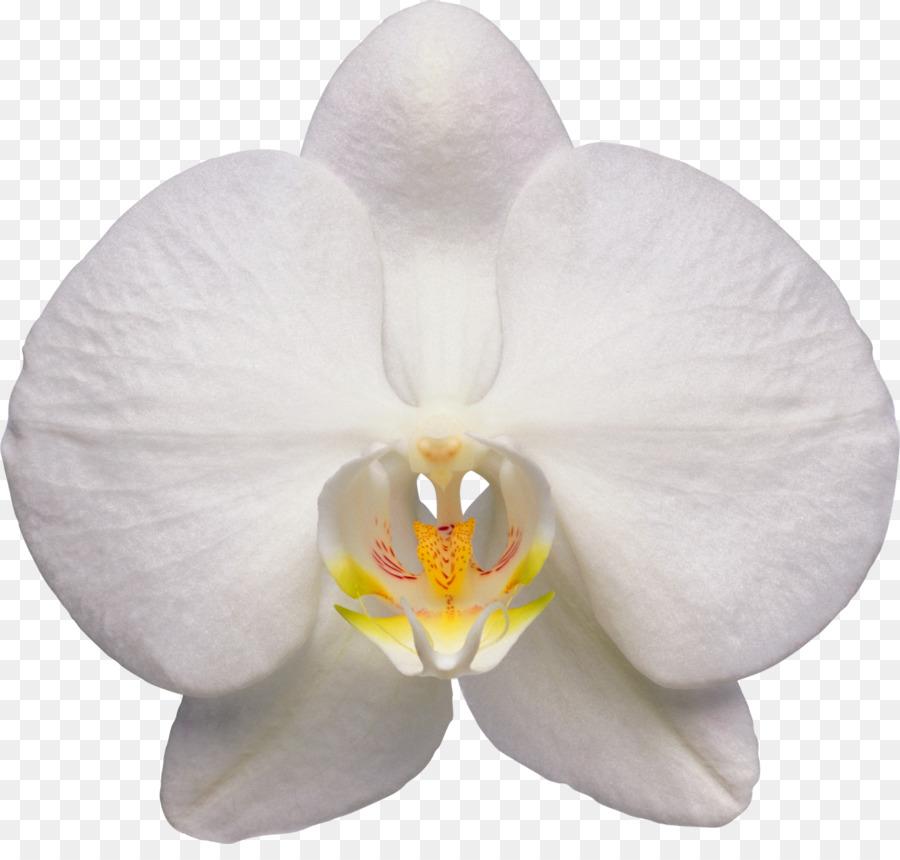 Descarga gratuita de Walingwaling, Las Orquídeas, La Polilla De Las Orquídeas imágenes PNG