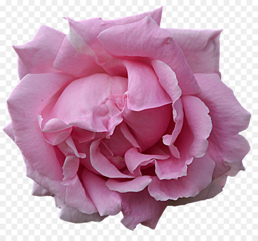 Descarga gratuita de Flores De Color Rosa, Flor, Rosa imágenes PNG