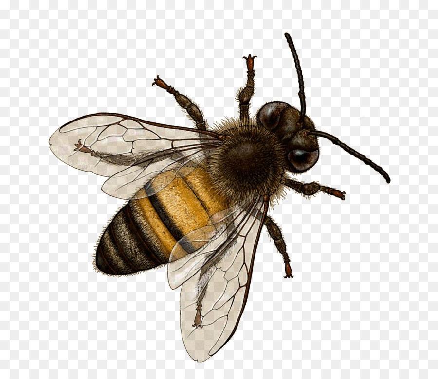 Descarga gratuita de Abeja, Los Insectos, Bombus Terrestris Imágen de Png