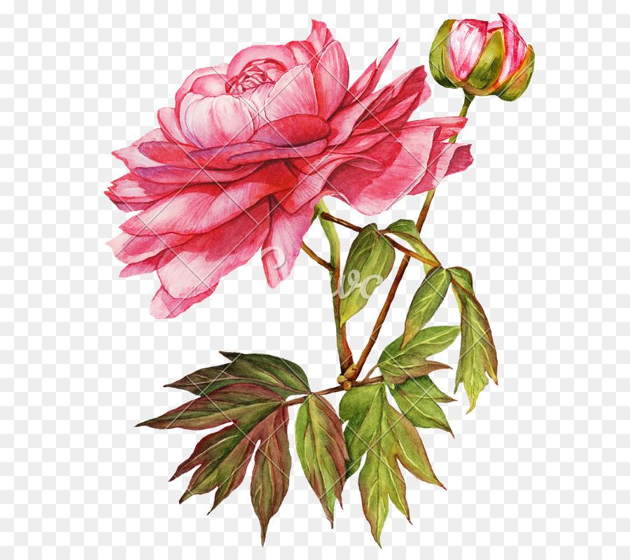 Descarga gratuita de Flor, Peonía, Las Rosas De Jardín imágenes PNG
