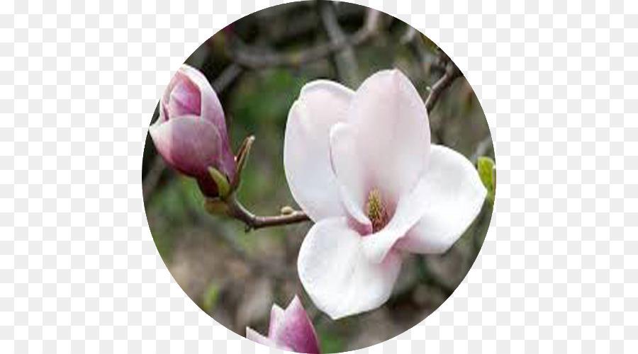 Descarga gratuita de El Amor, Flor, Magnolia imágenes PNG