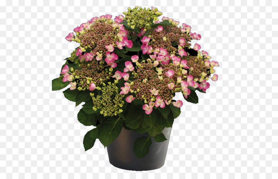 Descarga gratuita de Hortensia, Cocinar Jardín Del Centro, Flor Imágen de Png