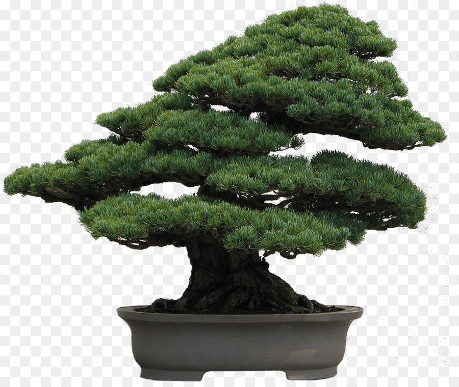 Descarga gratuita de Nacional De Bonsai De La Fundación, Pinus Armandii, Pinus Thunbergii Imágen de Png