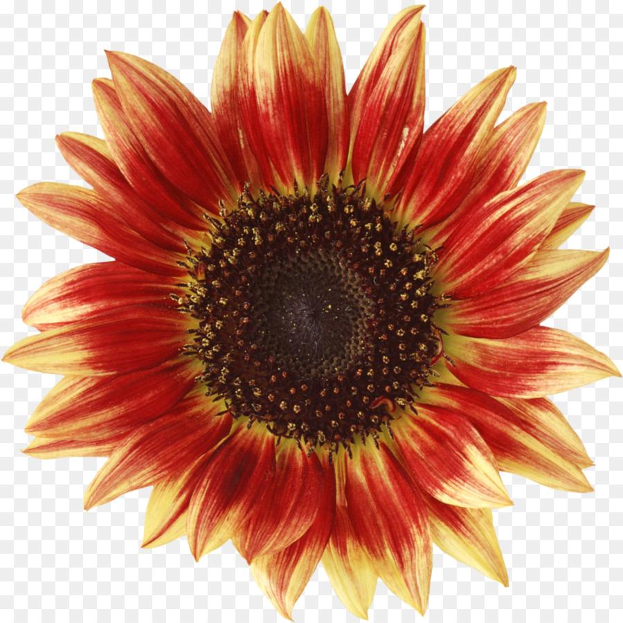Descarga gratuita de Común De Girasol, Flor, La Semilla De Girasol Imágen de Png