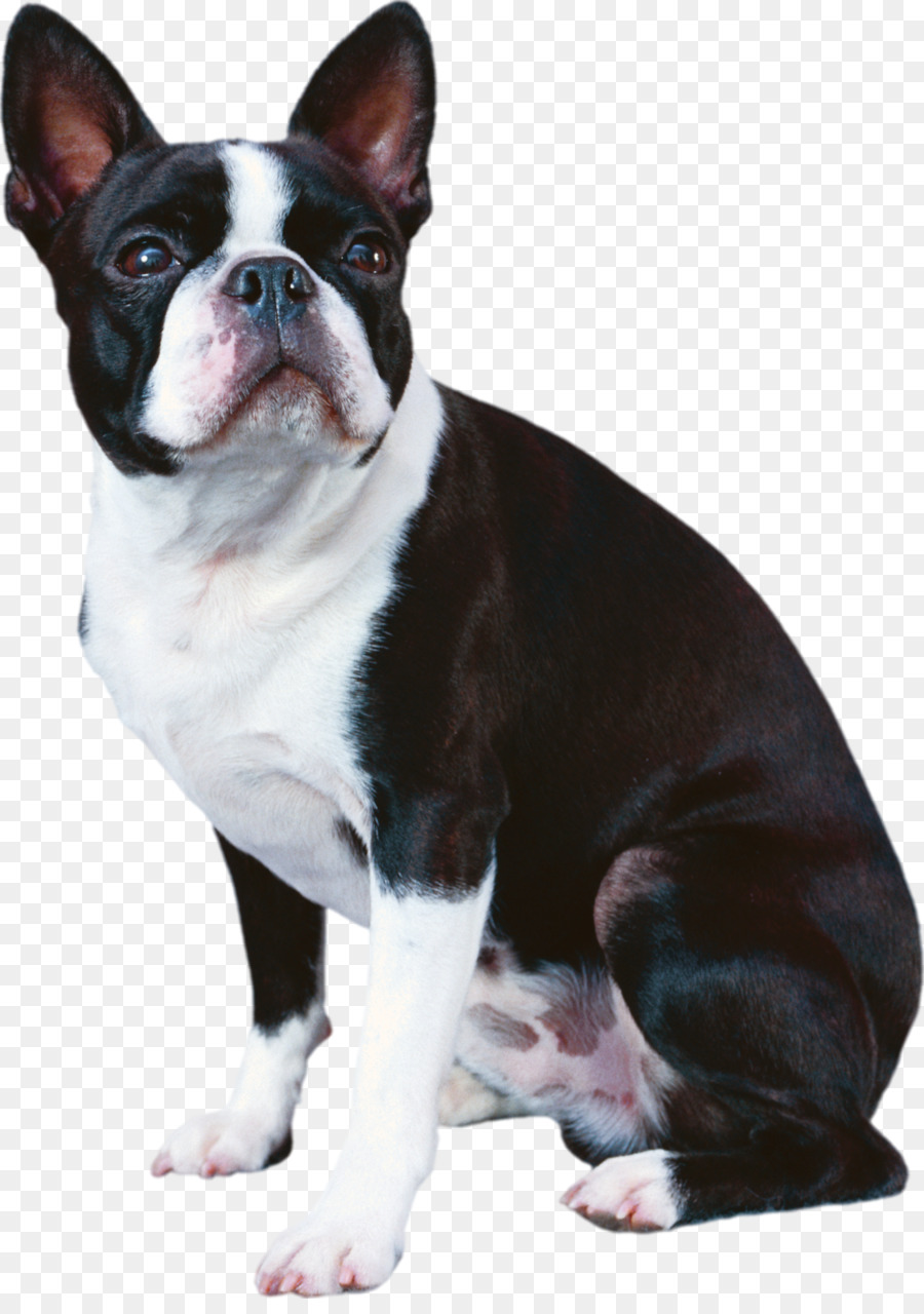 Descarga gratuita de Boston Terrier, Bulldog Francés, Boxer imágenes PNG