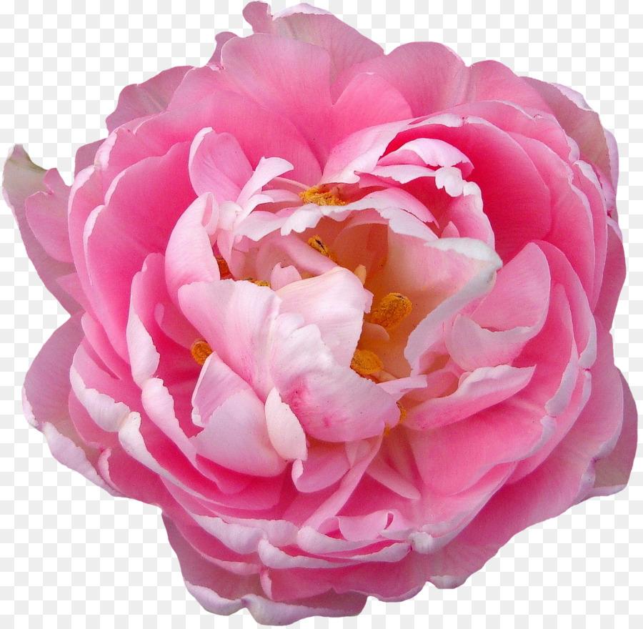 Descarga gratuita de Rosa, Flor, La Fotografía imágenes PNG