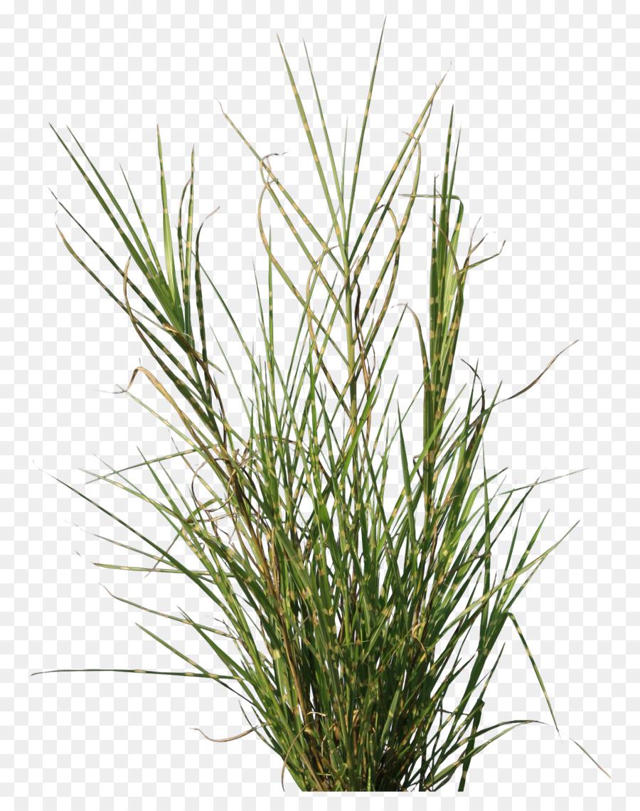 Descarga gratuita de Planta, Bambú, Césped Imágen de Png