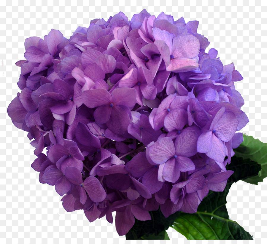 Descarga gratuita de Hortensia, Púrpura, Lavanda Imágen de Png