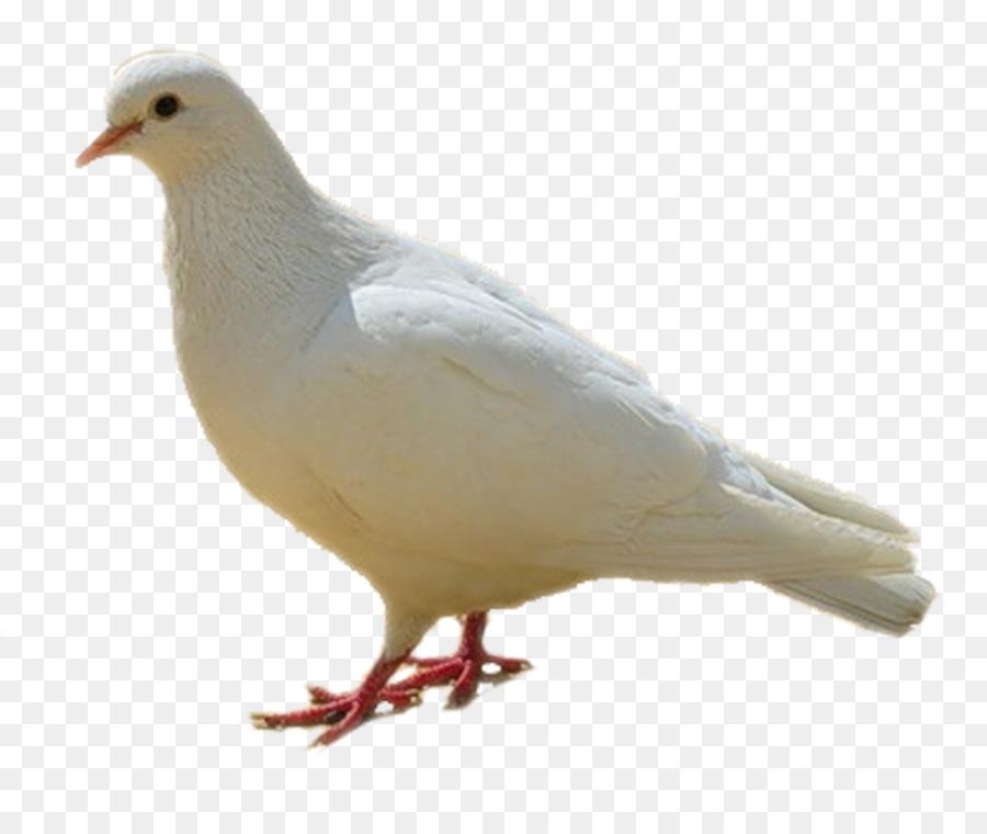 Descarga gratuita de Rock Dove, Homing Pigeon, Columbidae imágenes PNG