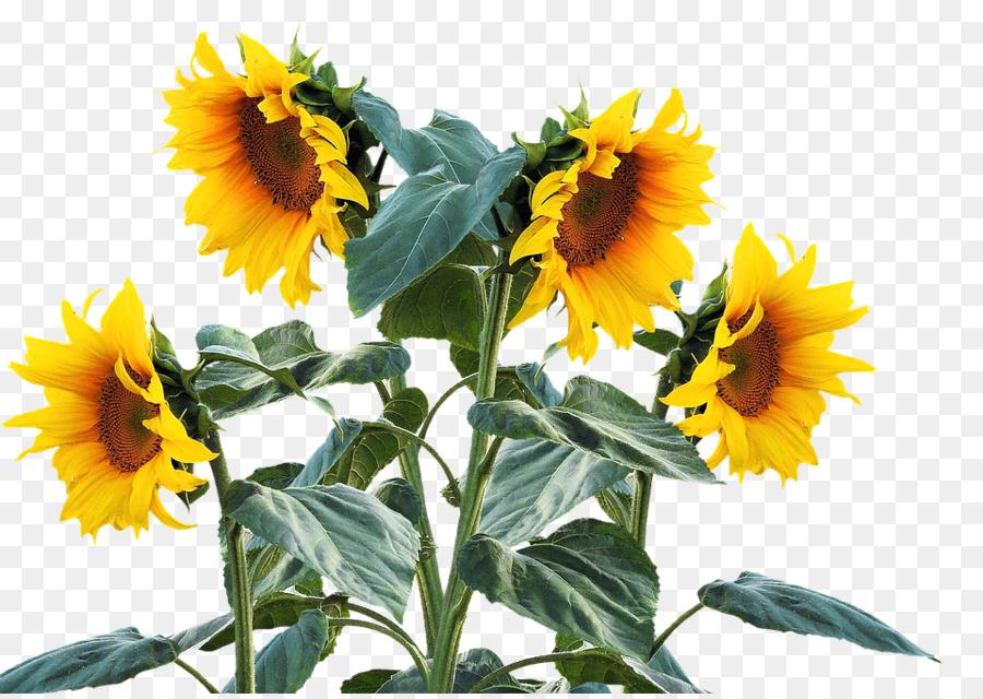 Descarga gratuita de Común De Girasol, Planta, Flor Imágen de Png