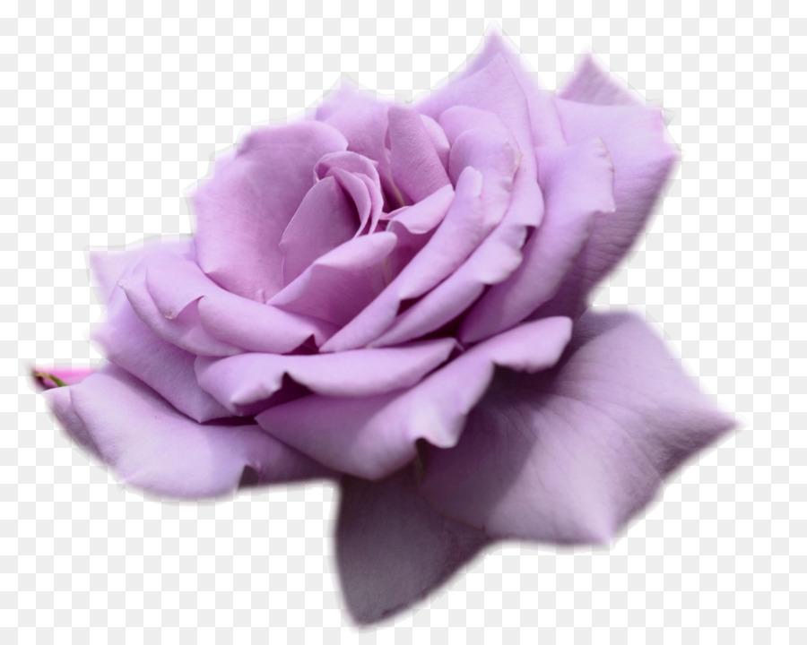 Descarga gratuita de Rosa, Flor, Fondo De Escritorio imágenes PNG