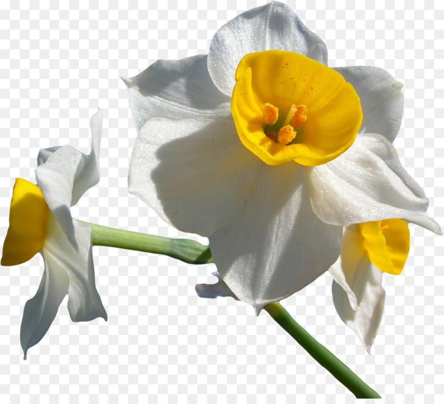 Descarga gratuita de Narciso Tazetta, Narciso Poeticus, Narciso Pseudonarcissus Imágen de Png