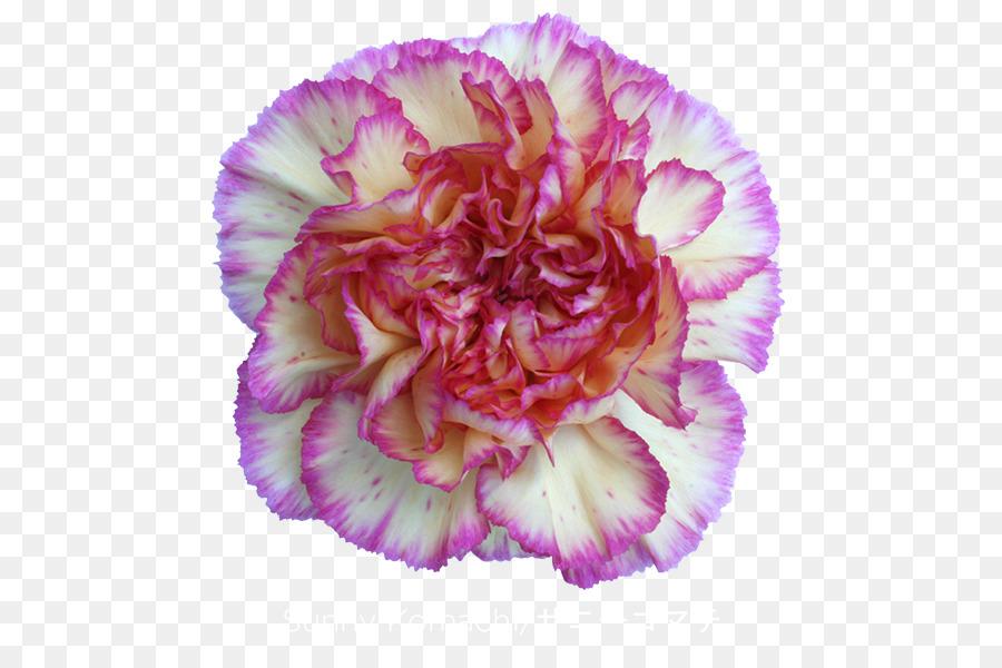 Descarga gratuita de Clavel, Flor, Las Flores Cortadas Imágen de Png