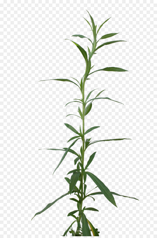 El Cannabis Hoja Cannabis Sativa Imagen Png Imagen