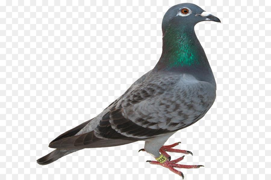 Descarga gratuita de Columbidae, Pájaro, Carreras De Homero Imágen de Png