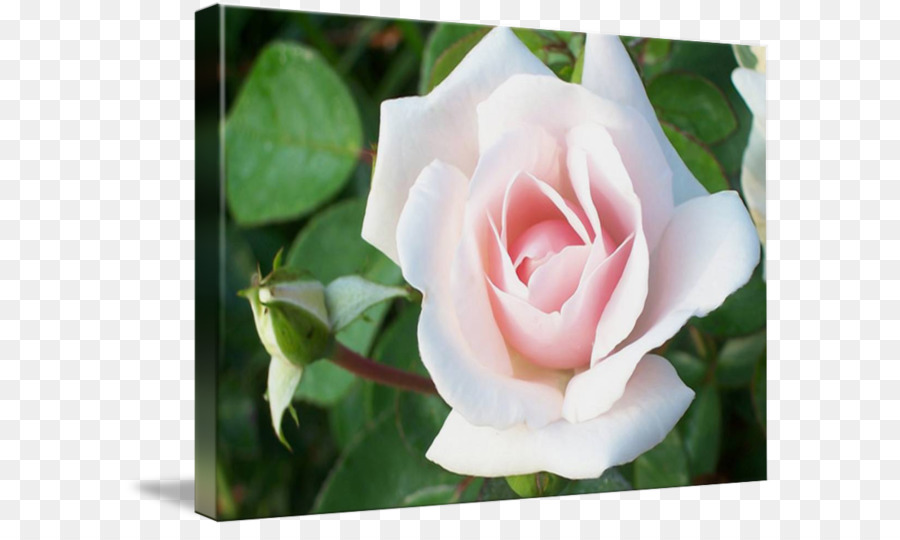Descarga gratuita de Rosas Centifolia, Gardenia, De Las Rosáceas imágenes PNG