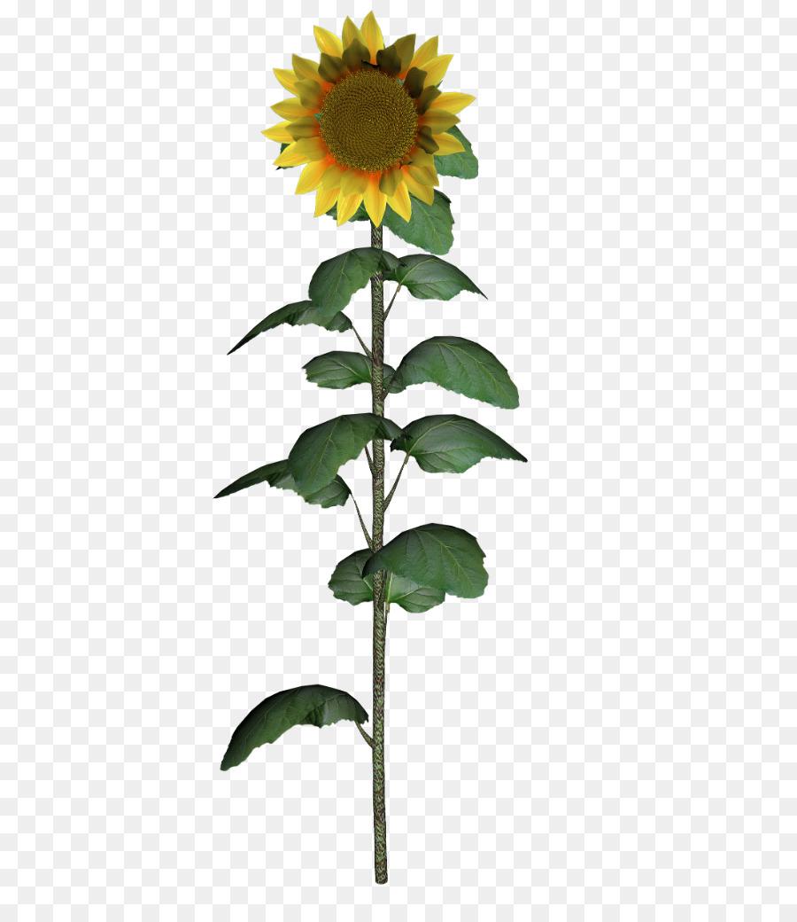 Descarga gratuita de Común De Girasol, Daisy Familia, Flor Imágen de Png