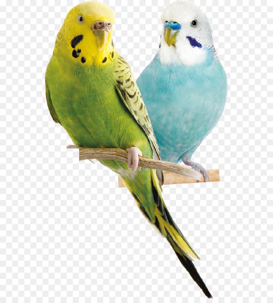 Descarga gratuita de Budgericar, Pájaro, Parrot imágenes PNG