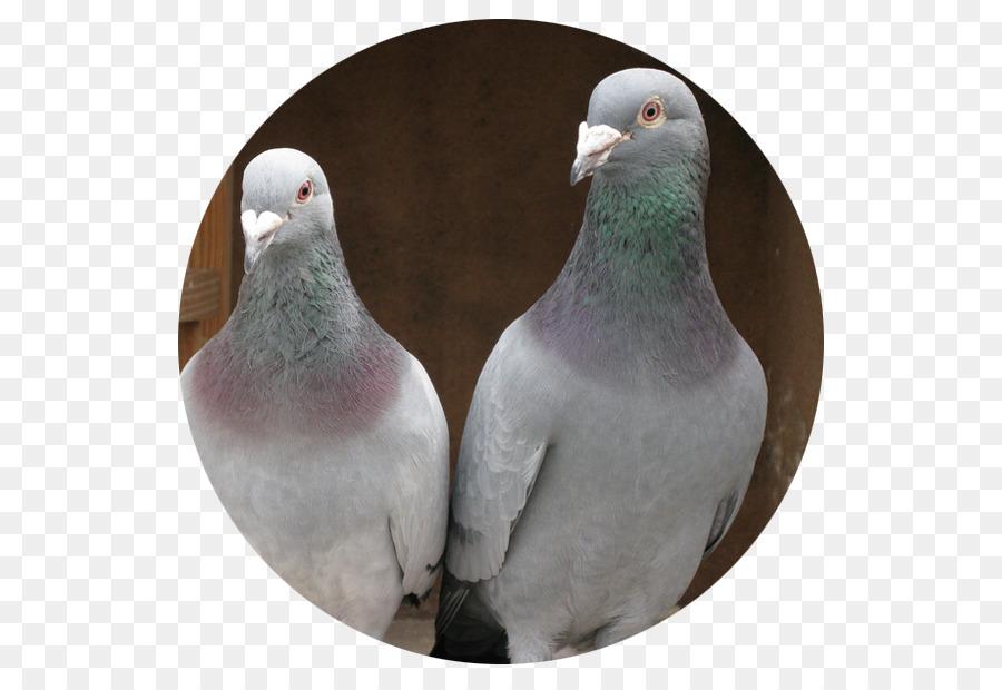 Descarga gratuita de Homing Pigeon, Carreras De Homero, Columbidae Imágen de Png