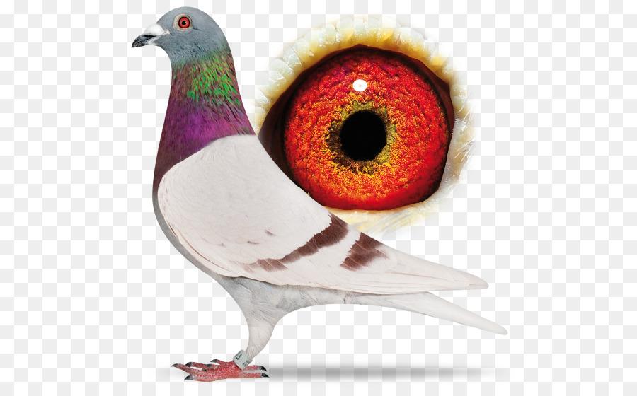 Descarga gratuita de Carreras De Homero, Homing Pigeon, Pájaro Imágen de Png