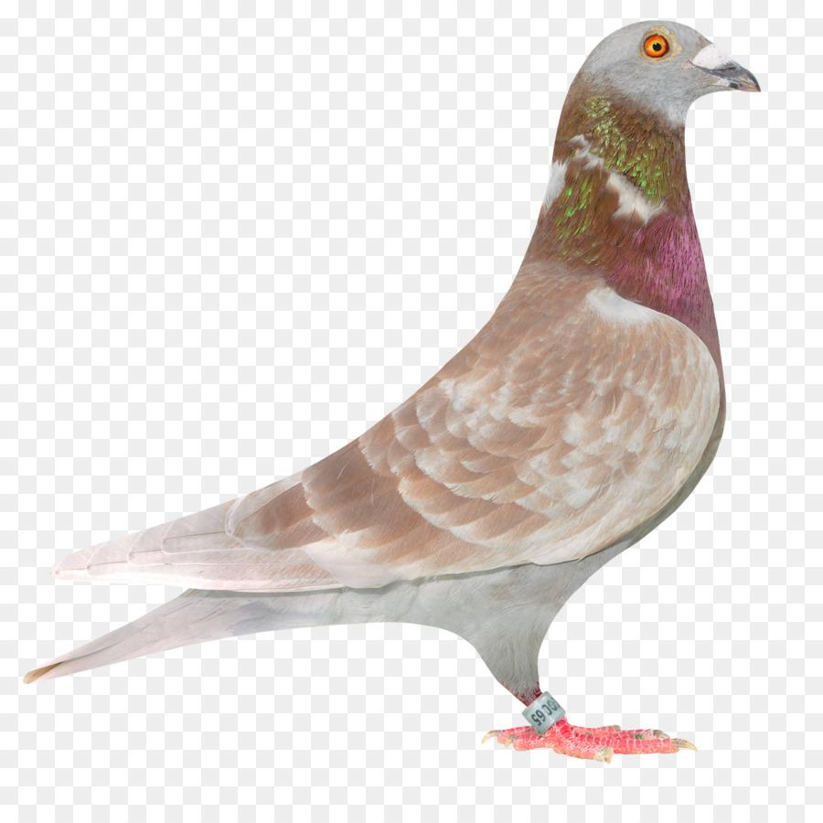 Descarga gratuita de Columbidae, Carreras De Homero, Homing Pigeon Imágen de Png