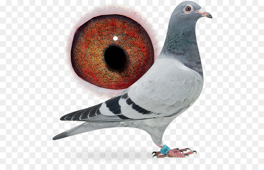 Descarga gratuita de Columbidae, Homing Pigeon, Carreras De Homero Imágen de Png