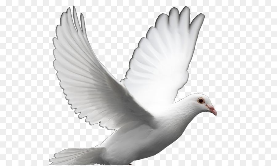 Descarga gratuita de Columbidae, Homing Pigeon, Las Palomas Como Símbolo Imágen de Png